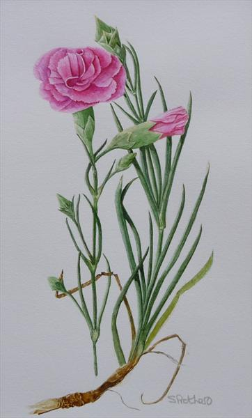 Dianthus by Susan Prothero